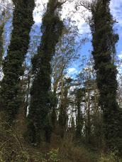 Blue eucalyptus on Mt. Davidson